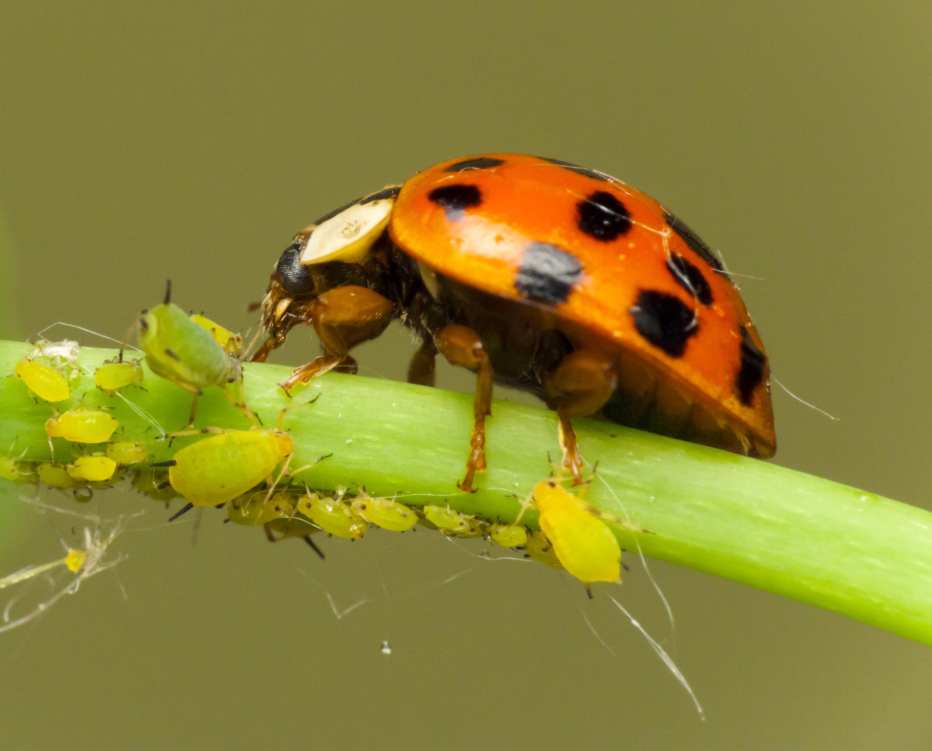 Ladybird Attack Aphids