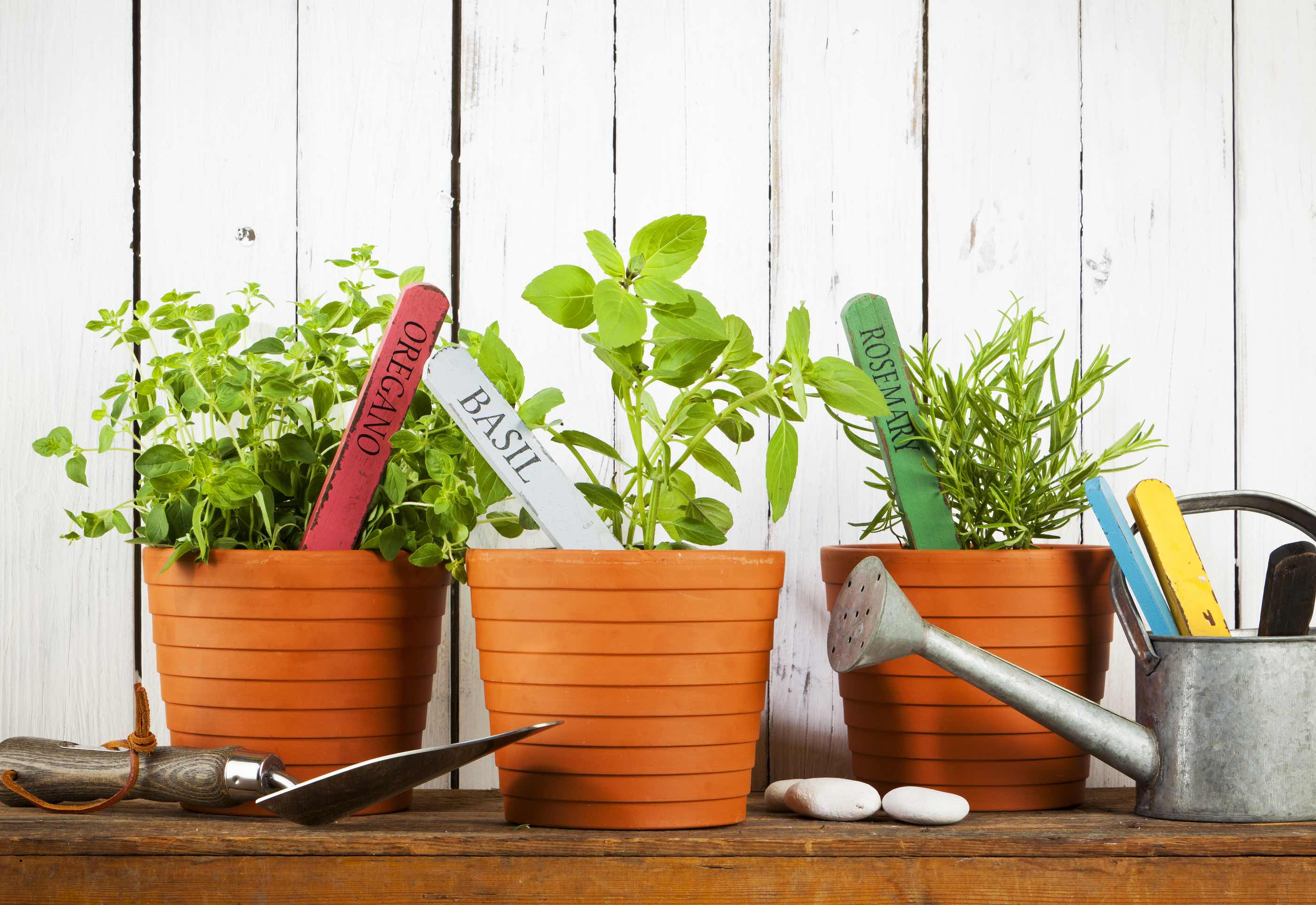 Oregano, Basil and Rosemary plants with name tags in flower pots, shovel and watering can on wooden