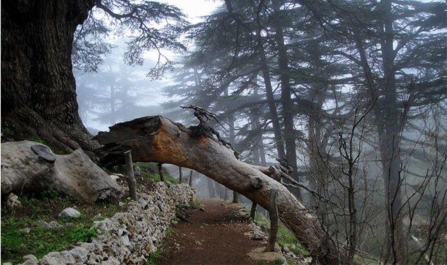cedars-of-lebanon