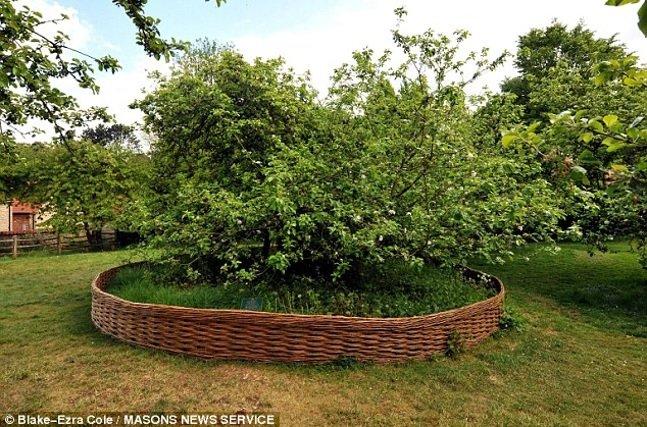 isaac-newton-apple-tree