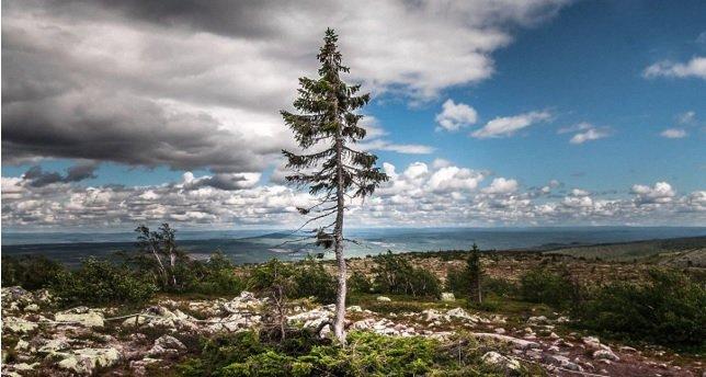 norway-spruce