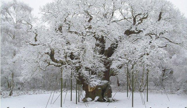 robin-hood-oak-tree