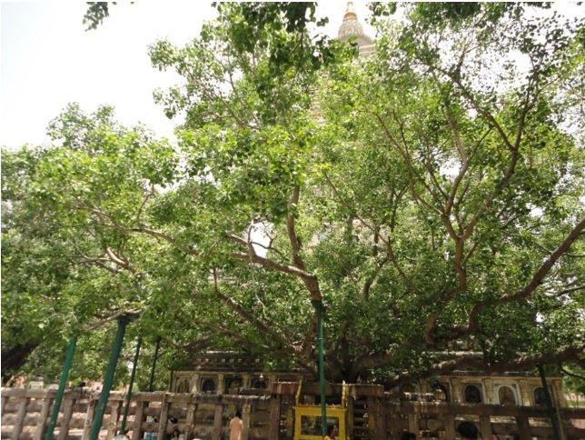 sacred-fig-tree